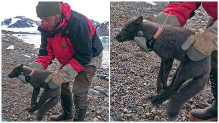 Caminata récord: Un zorro ártico recorrió 3.500 km desde Noruega hasta Canadá