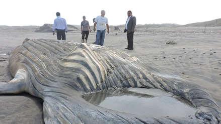 Esqueleto de ballena jorobada que varó el mar se exhibirá en museo de Chiclayo