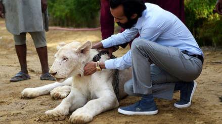 8 fotos del polémico uso del león como mascota entre los ricos de Pakistán