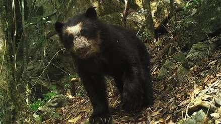Videos: osos de anteojos y yaguarundis entre la increíble fauna de los bosques nublados de Cajamarca