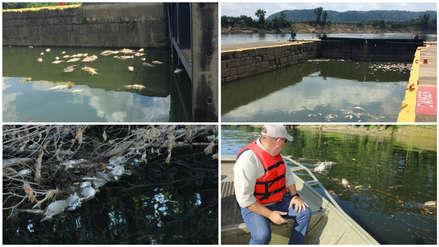 Tragedia ecológica: Miles de peces murieron intoxicados por derrame de whisky en un río de EE.UU.
