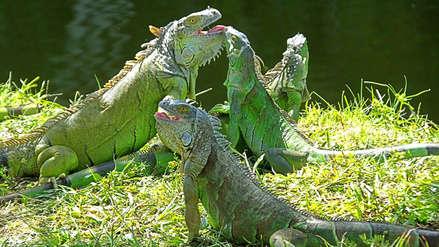 ¡Maten a las iguanas! Los motivos detrás de este insólito pedido de un estado a sus ciudadanos