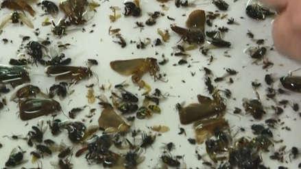 """""""El apocalipsis de insectos"""": Grabaron muertes de estos animales por 30 años y este fue el resultado [VIDEO]"""