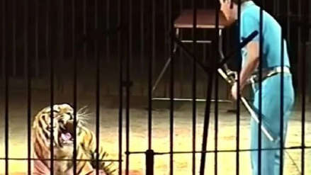Un famoso domador de circo murió atacado por sus tigres