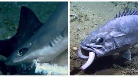 ¡Increíble! Captan momento en que un enorme pez devora a un tiburón vivo de un solo bocado