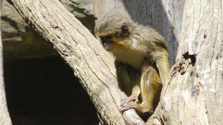 Expertos hallan restos de pequeño mono que vivió hace 4,2 millones de años en Kenia
