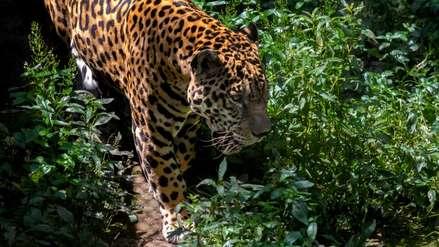 La frontera del jaguar: confirman presencia del felino en áreas protegidas de Perú, Ecuador y Colombia
