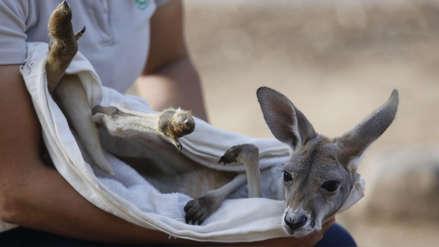 6 fotos de Khya, la tierna canguro bebé criada por humanos tras la súbita muerte de su madre