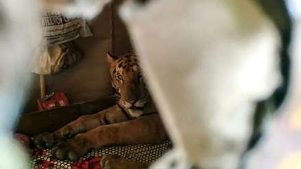 Tigres, rinocerontes y otros animales salvajes víctimas de inundaciones en la India