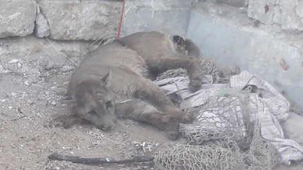 Murió el puma que fue rescatado por Serfor tras pasar días perdido en Arequipa