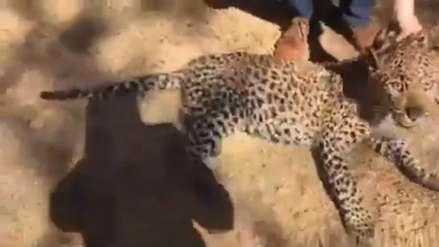 Un leopardo que deambulaba por zona residencial de Sudáfrica fue hallado en una lavandería [VIDEO]