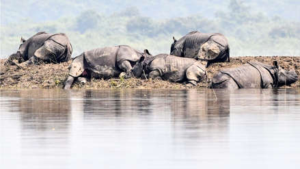 ¡Tragedia! Rinocerontes en peligro de extinción mueren por inundaciones en India