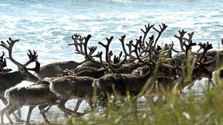 Unos 200 renos murieron de hambre en el Ártico por el cambio climático