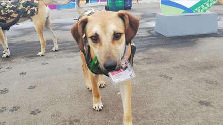 Perros que viven en la Villa Panamericana, acreditados, se encuentran en adopción