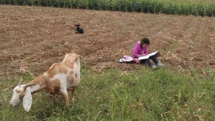 Conmovedoras imágenes de una niña que estudia mientras cuida a sus animales en una chacra de Trujillo