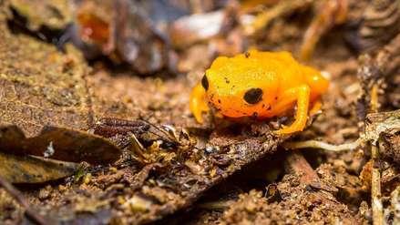 Video: Científicos se sorprenden al descubrir que pequeñas ranas botón de oro pueden brillar