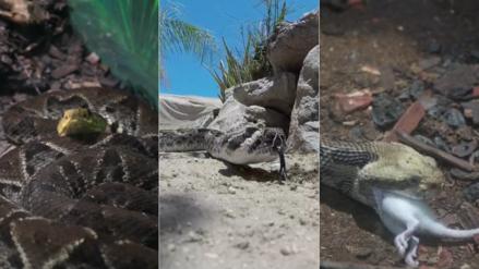 Nadie se salva: la temida serpiente cascabel es obligada a cambiar su conducta por el cambio climático