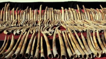 Un hombre fue detenido con 100 kilos de colmillos de elefante valorizados en más de 80 mil euros