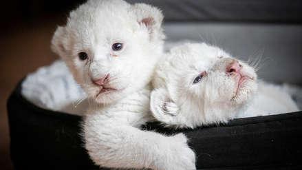 Dos cachorros de león blanco que nacieron en cautiverio fueron presentados en Francia [FOTOS]