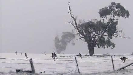 ¿Canguros en la nieve? Lo que no pensabas ver en Australia [VIDEO]