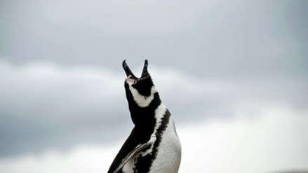 Descubren los fósiles de un pingüino gigante en Nueva Zelanda