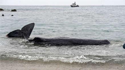 San Bartolo: Cachalote que estuvo varado en playa murió a pesar de esfuerzos por salvarlo