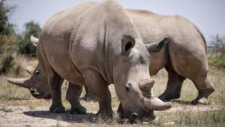 Científicos logran fecundar siete óvulos para salvar a los rinocerontes blancos de la extinción