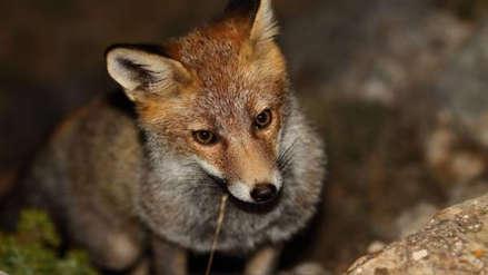 ¿Qué hacer ante el avistamiento de un zorro en una zona urbana?