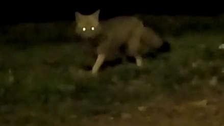 Vecinos reportaron avistamiento de zorro en La Molina