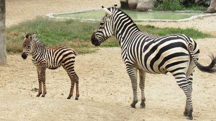 Zoológico de Huachipa lanza concurso para ponerle nombre a cebra recién nacida