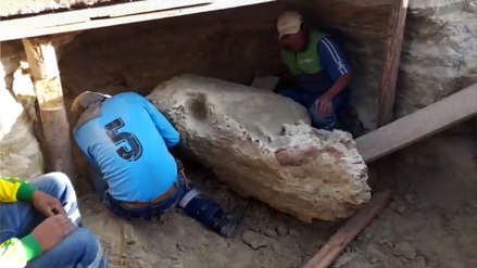 Cusco: Obreros hallan fósil de posible toxodonte durante trabajos de pavimentación en Espinar