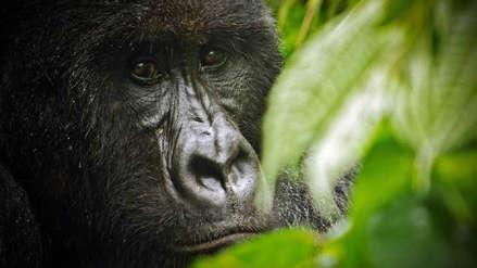 Las gorilas hembras huyen de sus grupos cuando los machos se enferman de la piel