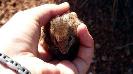 El peculiar caso de los marsupiales que mueren en masa por