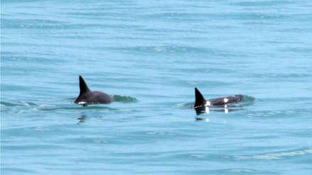 Científicos avistan seis vaquitas marinas, especie al borde de la extinción, en aguas mexicanas