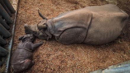 Científicos crean dos embriones para salvar de la extinción al rinoceronte blanco del Norte
