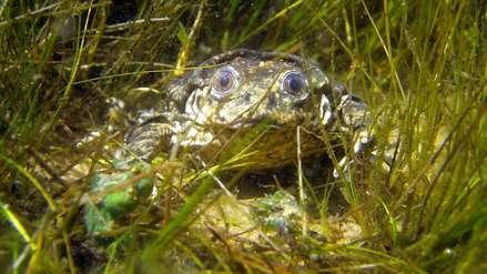 Buenas noticias para la rana gigante del Titicaca