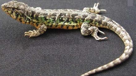 Nueva especie de lagartija fue descubierta en Nazca por científicos peruanos