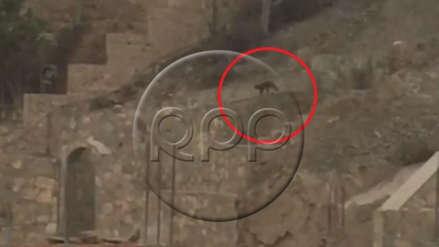 Vecino reporta avistamiento de puma en La Molina