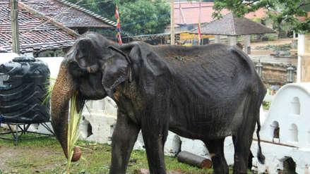 Tikiri, una elefanta de 70 años víctima de maltrato, falleció
