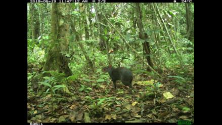 Policía comunal usa cámaras trampa para monitorear fauna y actividades ilícitas en selva de San Martín