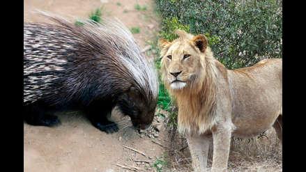 Cuando los leones quieren comer puercoespines, los humanos salen perdiendo