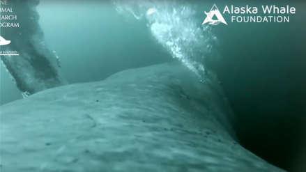 Video muestra cómo las ballenas jorobadas se alimentan mediante burbujas