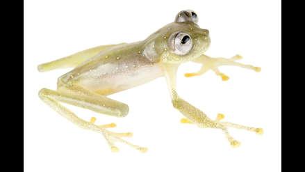 ¿Qué secretos esconden las ranas de cristal?