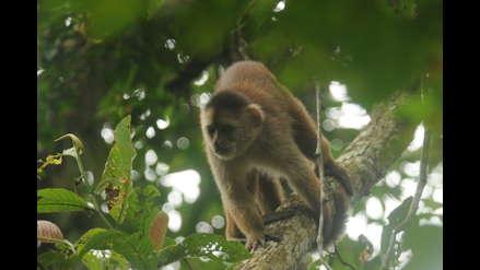 Tumbes: el mono machín ingresa a la lista de primates más amenazados del mundo