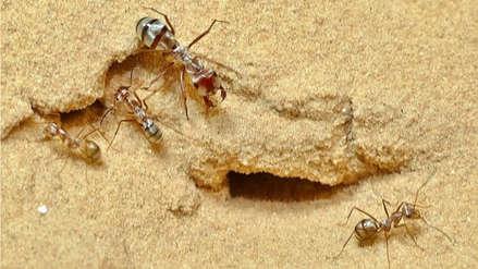 Científicos filman a la hormiga más rápida del mundo [VIDEO]