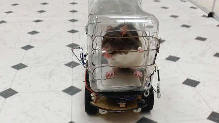 Ratas fueron entrenadas para conducir mini-autos y estos fueron los resultados [Fotos]