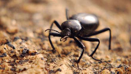 Escarabajos inspiran una nueva técnica para obtener agua en el desierto