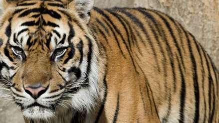 Un hombre fue arrestado en Indonesia por vender la piel de un tigre de Sumatra