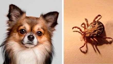 Ehrlichiosis en perros: Enfermedad transmitida por garrapatas también puede contagiarse a los humanos