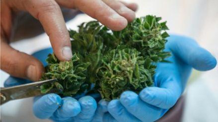 Analisis: En dos semanas se publicará el reglamento para el uso terapéutico del cannabis [Audiogalería]